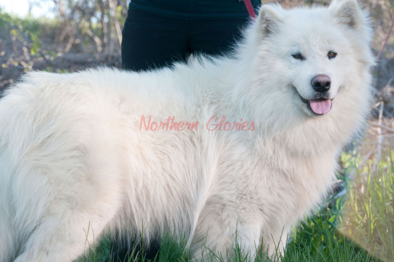 Giant White Malamute