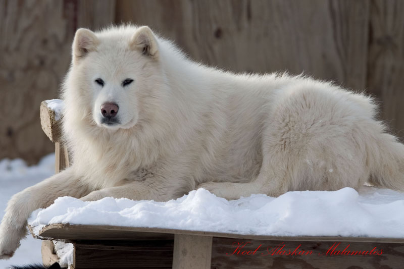 Your favourite dog/wolf breed? Glacier5-800
