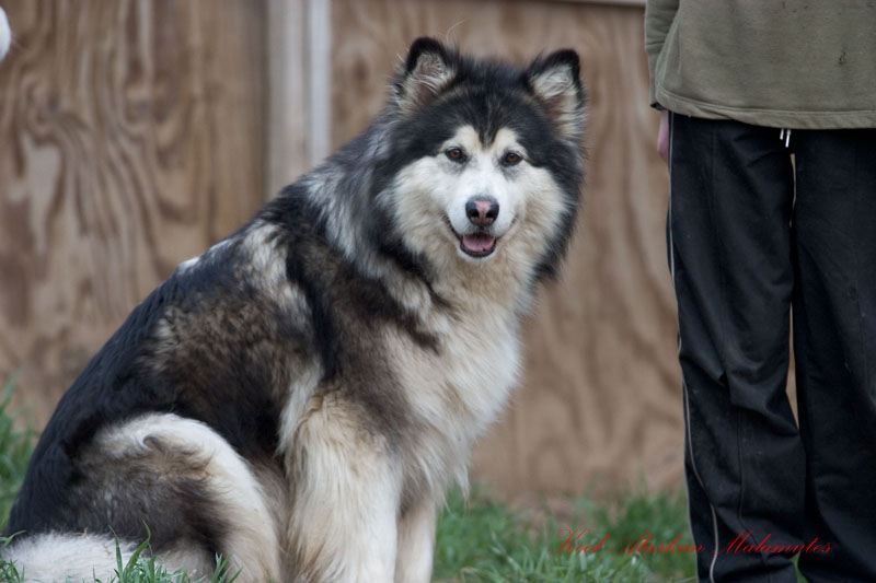 Your favourite dog/wolf breed? Song-8-800